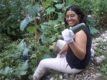 picking zucchini