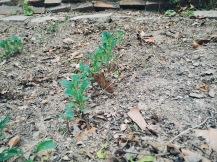Baby kales