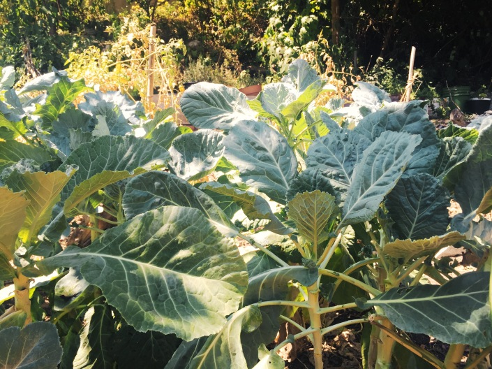 Collards in golden light
