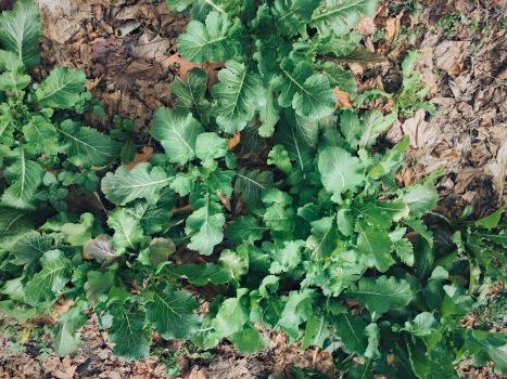 Collards still green