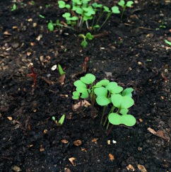 Kale seedlings