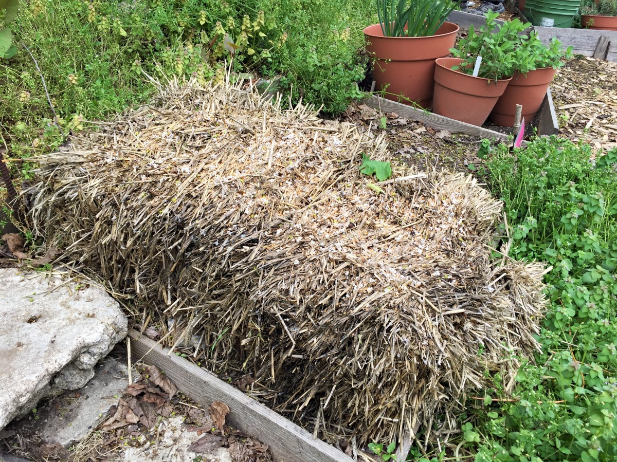 Strawbale for watermelons