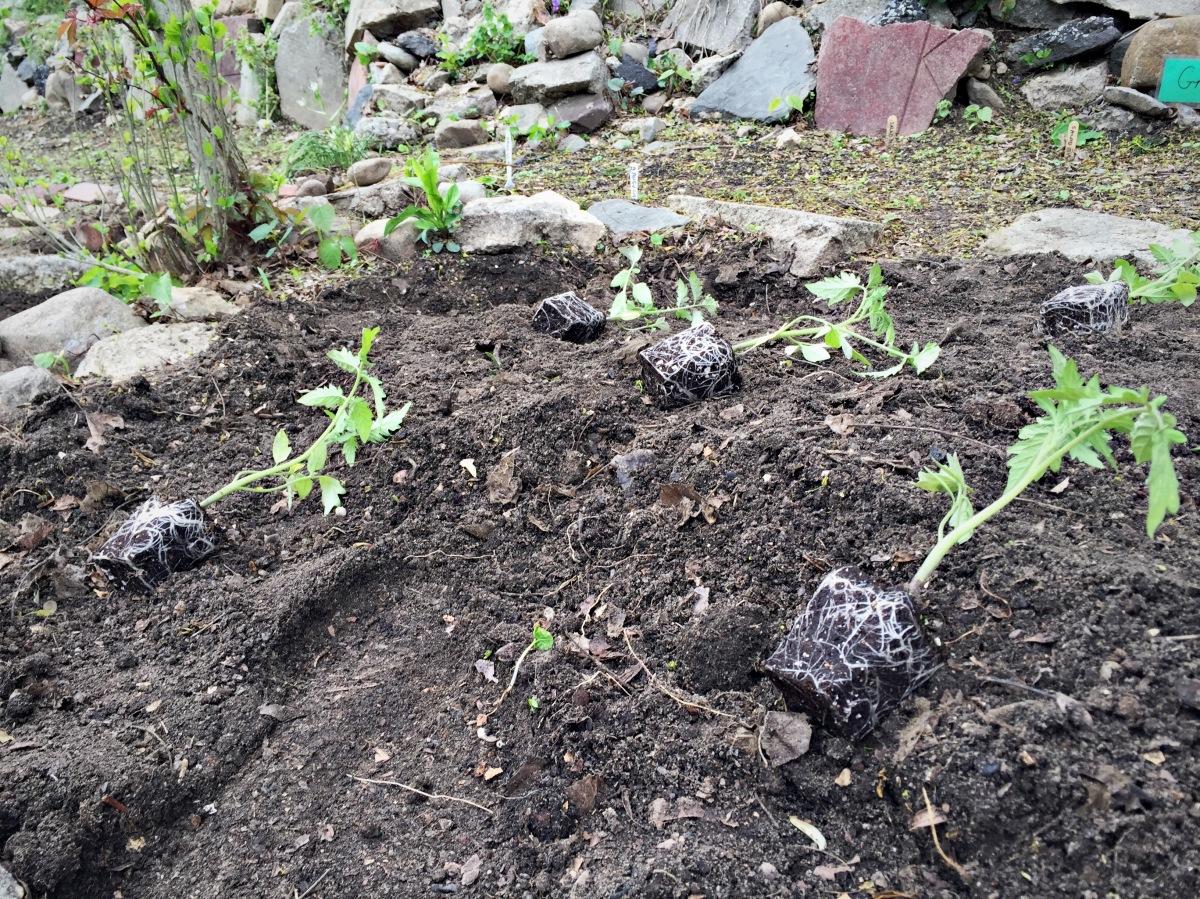Plotting out tomatoe seedlings