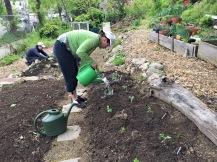 Watering freshly planted tomatoes