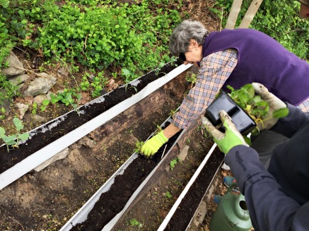 Planting greens into gutters