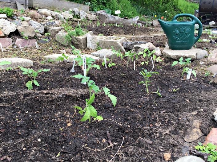 Tomato seedlings planted