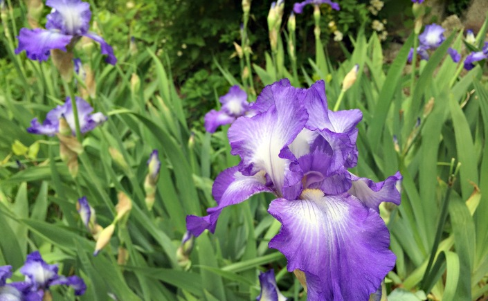 irises have exploded