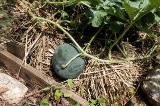 Another watermelon on the vine