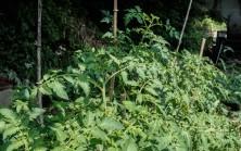 sunny tomatoes