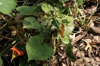 Nasturitum aphids