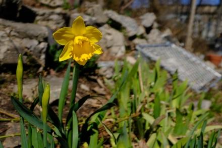 Survivor daffodil