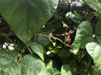 Bush bean flowers