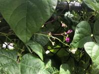 Bush bean flowers