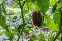 Reddening pepper